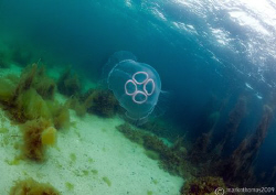 Moon jellyfish in Streamstown Bay, Connemara. D3, 16mm. by Mark Thomas