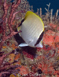 Butterflyfish on a wreck off of Miami, Florida.  Taken wi... by Jeri Curley