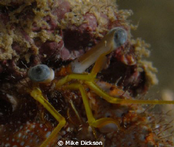 Hermit crab