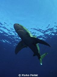 Oceanic Whitetip. Carcharhinus Longimanus. No bait no fee... by Marko Perisic