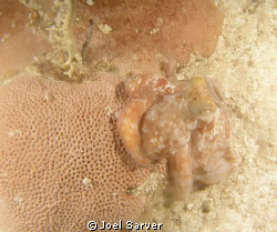OCTOPUS ON A NIGHT DIVE by Joel Sarver
