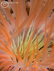 Tube Dwelling Anemone, a very nicely colored Tube Dwellin... by Stephen Holinski