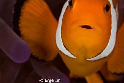 clownfish closeup - 100mm macro lens + 2x tc by Enje Im