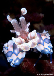 Portrait Image of Harlequin Shrimp. Taken with D200 and 1... by David Henshaw