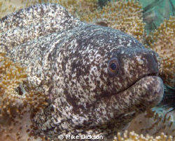 Peppered Moray (l: gymnothorax pictus)  Cat Island, Mus... by Mike Dickson