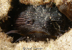 SPLENDID TOADFISH by Joel Sarver