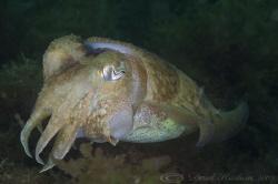 Cuttlefish. Plymouth. D3, 105mm. by Derek Haslam