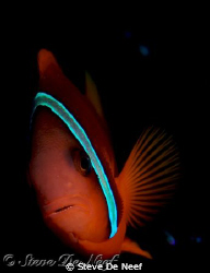 clownfish at san miguel tires in dauin, negros. by Steve De Neef