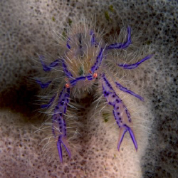 Super Macro Image of a Hairy Squat Lobster. Taken with D2... by David Henshaw
