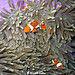 Clownfish by Wijnand Plekker