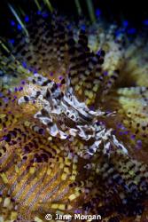 Zebra Crab on fire urchin by Jane Morgan