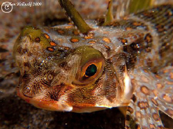 Flying Gunard Face, Anilao.  Canon G10, dual UCL-165 lens... by Stephen Holinski