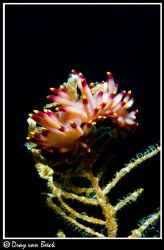 Flabellina (nudibranch) disguising as a flower... by Dray Van Beeck