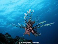 Lionfish off Bolo Point in Okinawa using a Canon S3 IS wi... by Kristopher Thornhill