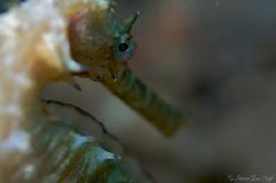 Thorny seahorse. by Steve De Neef