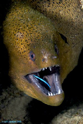 """""""Who's Hungry Now?"""" Cleaner wrasse trusting his host. by Debi Henshaw"""