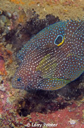 """""""Comet"""" this rarely seen fish is unique with the white ri... by Larry Polster"""