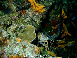 Lobster hidden in cave by Janice Hagler
