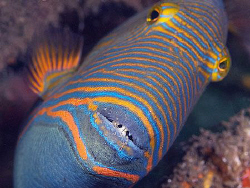 Triggerfish, Secret Bay by Doug Anderson