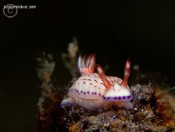 Another little nudi from Anilao.  Canon G10, dual Inon UC... by Stephen Holinski