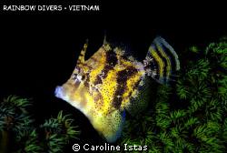 Filefish by Caroline Istas
