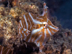 Radial Leatherjacket, East Timor by Doug Anderson