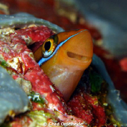 I hadn't seen a Smiling Blenny for a while so I obliged w... by Chad Ordelheide