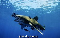 Carcharhinus Longimanus. Daedalus reef. by Marko Perisic