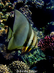 Two Batfish at the end of our dive, right under the Jetty... by Beate Seiler