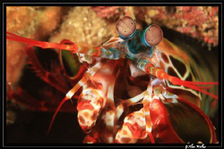 Manta Shrimp close up - no crop. by Allen Walker