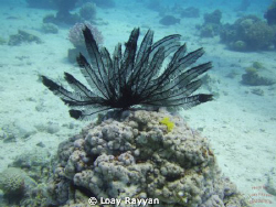 Feather Star by Loay Rayyan