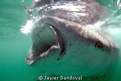 Whale shark feeding on the surface from plancton by Javier Sandoval