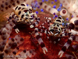 Pair of Coleman Shrimp on a Fire Urchin in Bali. G9/DS160... by Richard Witmer
