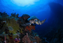 A hawksbill turtle in Sail Rock, St. Thomas. by Juan Torres