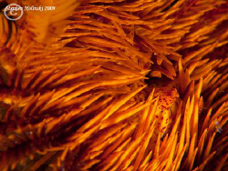 Crinoid close-up.  Anilao.  Canon G10, dual Inon UCL165, ... by Stephen Holinski