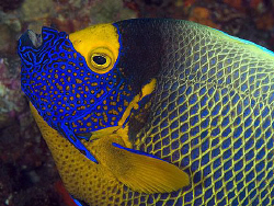 Blue-faced Angelfish, Tulamben by Doug Anderson