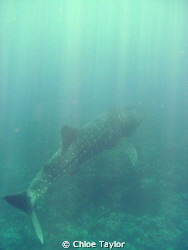 This was a small male whale shark, he was cruising the co... by Chloe Taylor