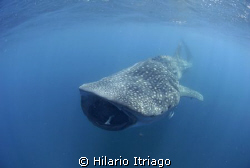 "Whale shark near Cancún Q.roo. Trip with ""Solo Buceo"" by Hilario Itriago"