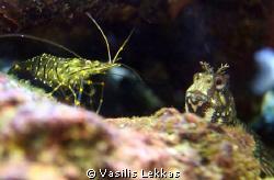 A qurrious blenny examines a small cleaner shrimp. I bet ... by Vasilis Lekkas