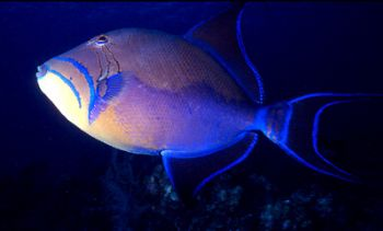 Queen Triggerfish taken in Grand Cayman by Beverly J. Speed