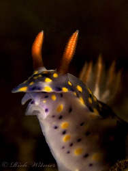 Hypselodoris infucata in Tulamben, Bali.  G9/DS160s/Stack... by Richard Witmer