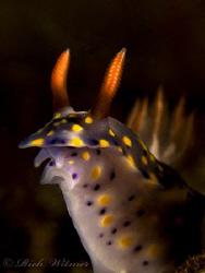 Hypselodoris infucata in Tulamben, Bali.  G9/DS160s/Stack... by Richard Witmer