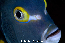 French angel fish face during night dive by Javier Sandoval