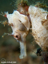 White Sea Horse in Anilao. Canon G10, Dual Inon UCL165 le... by Stephen Holinski
