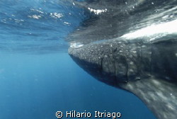 Whale Shark in Solo Buceo one day trip from Cancun México by Hilario Itriago