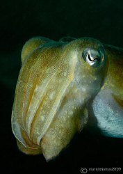 Cuttlefish - Sepia offincinalis. Penlee Point, Plymouth.... by Mark Thomas