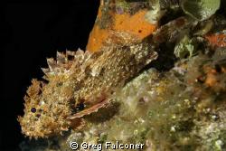 Spotted Scorpionfish at night at Chancanaab on July 11, 2... by Greg Falconer