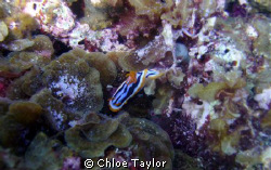 I found this nudibranch in amongst the sea weed and rock ... by Chloe Taylor