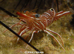 Shrimp hiding in the spines of a sea urchin.  Note: tak... by Mike Dickson