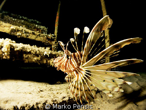 Lionfish Pterois miles by Marko Perisic
